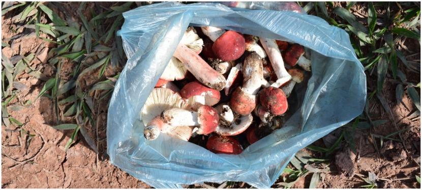 ການຈ່າຍຄ່າຮຽນຜ່ານການເກັບເຫັດ  Paying for School, One Mushroom at aTime